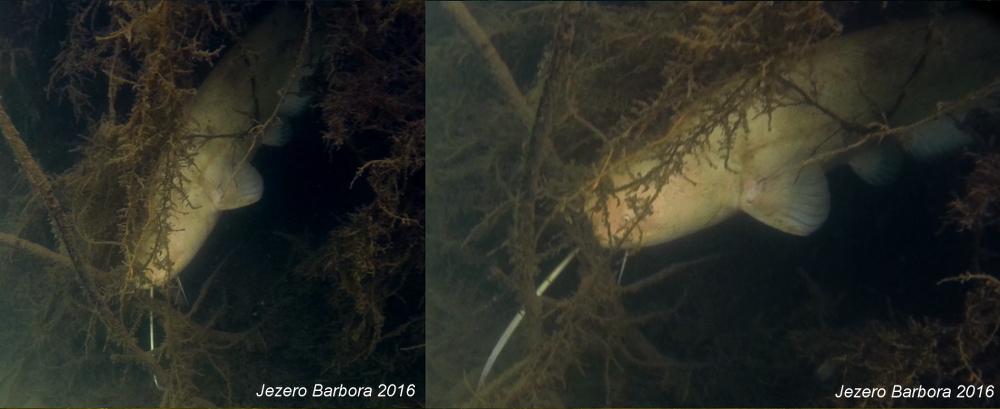 Silurus glanis - Sumec velký
