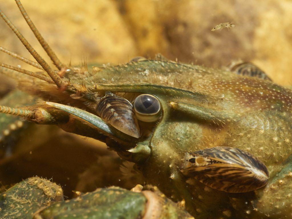 Dreissena polymorpha - Slávička mnohotvárná
