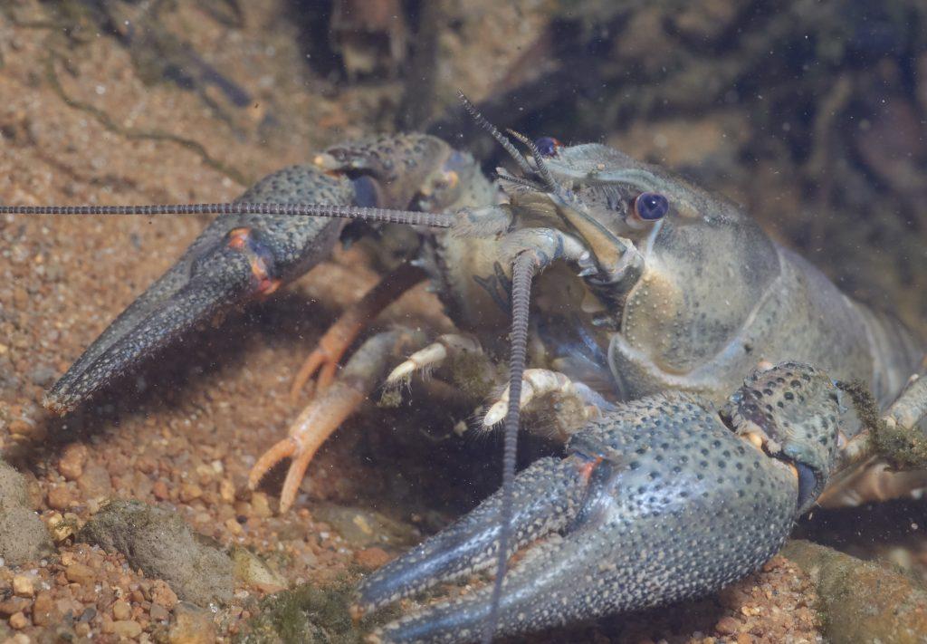 Astacus astacus - Rak říční