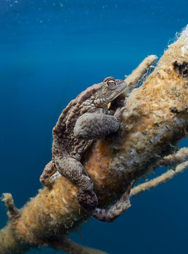 Bufo bufo - Ropucha obecná - lom Borek freediving