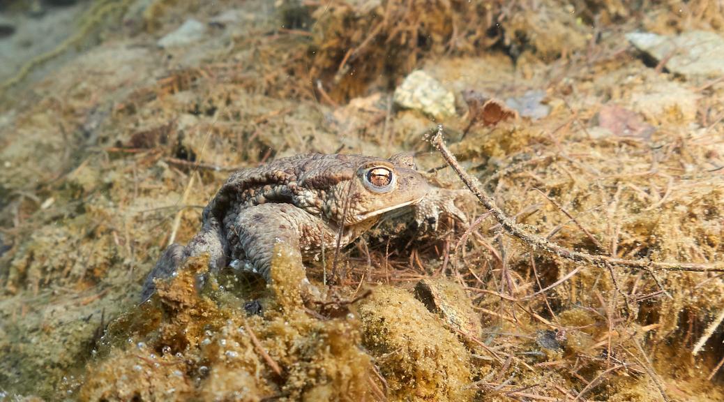 Bufo bufo - Ropucha obecná