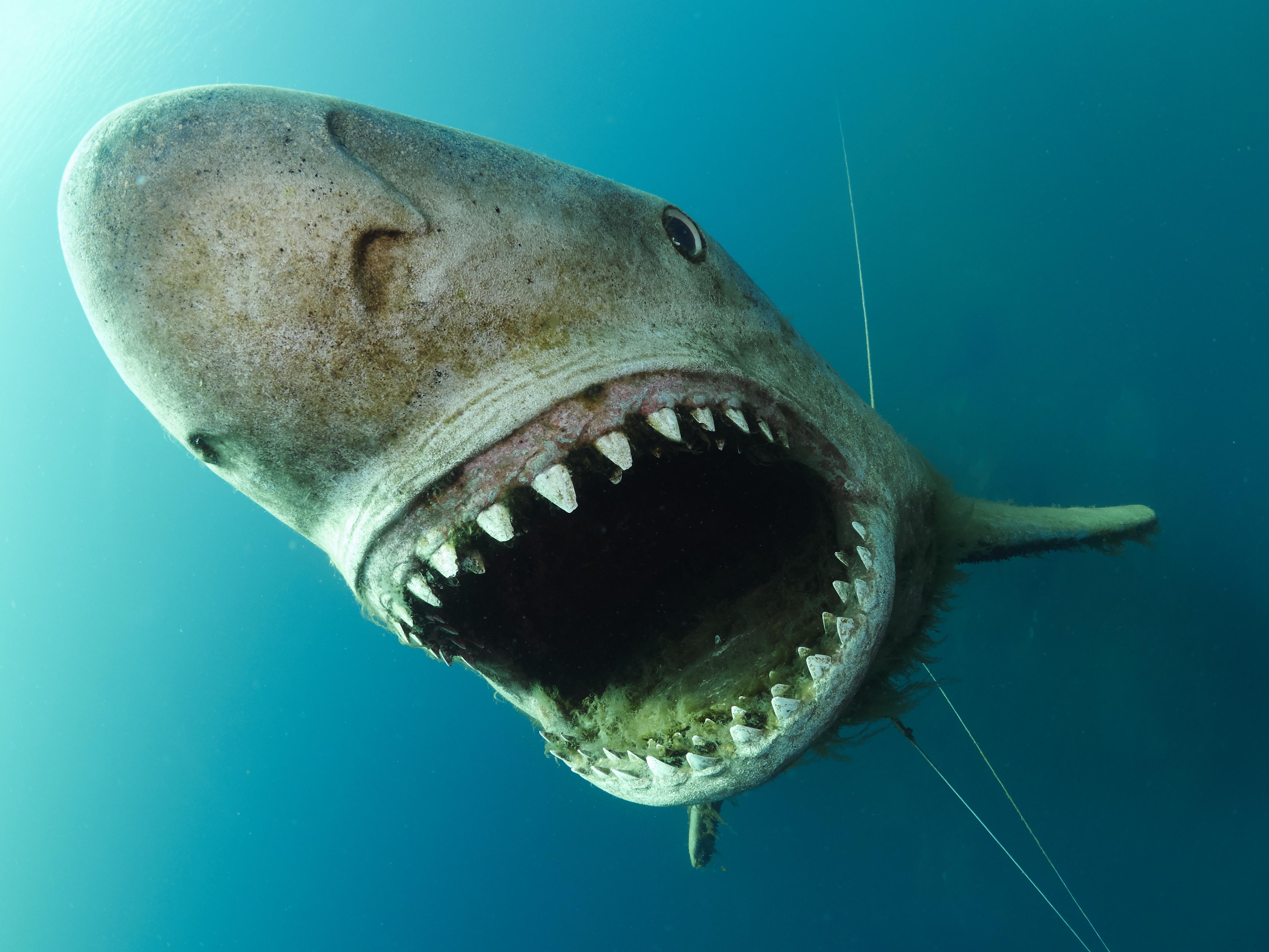 Hemmoor Kreidesee Shark