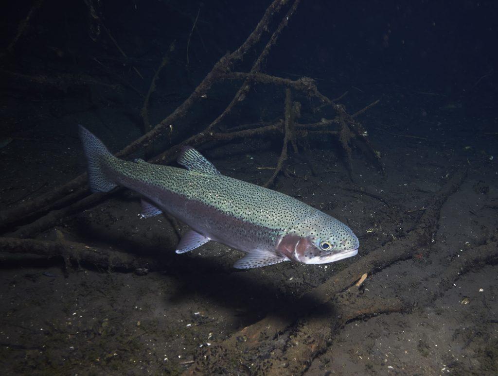 Hemmoor Kreidesee Fish Freediving
