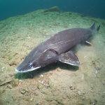 sturgeon jeseter - lobejun freediving dive freedive