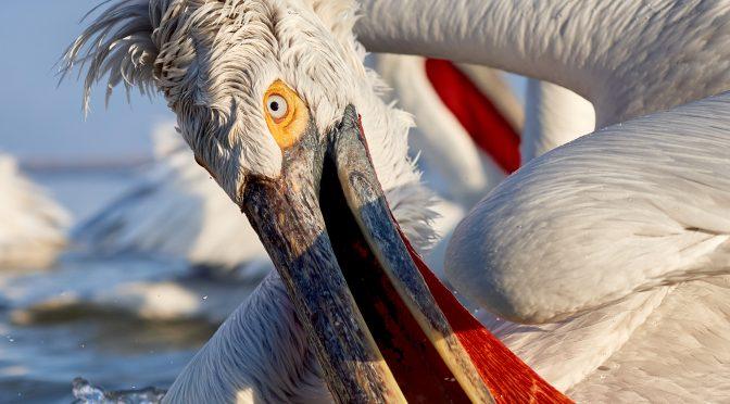 Pelecanus crispus Kerkini Pelican Greece