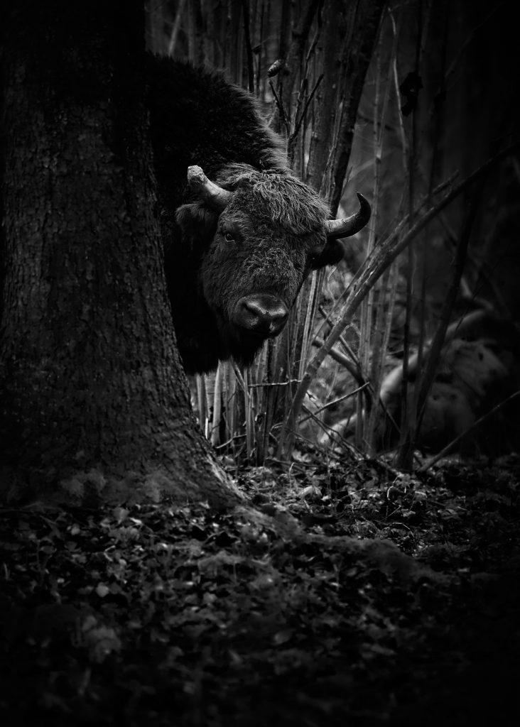 Bison bonasus - Zubr evropský