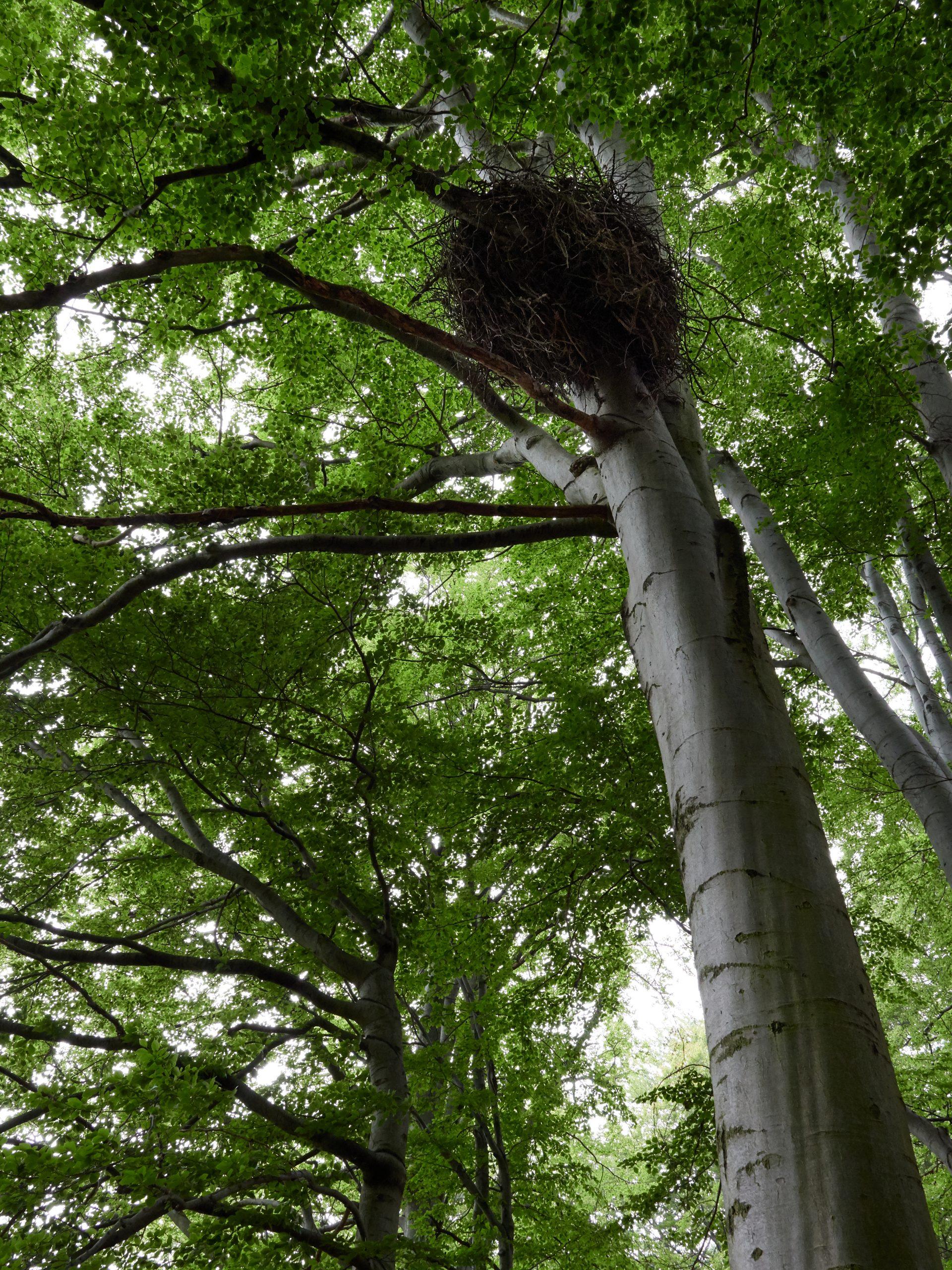 čap černý ciconia nigra