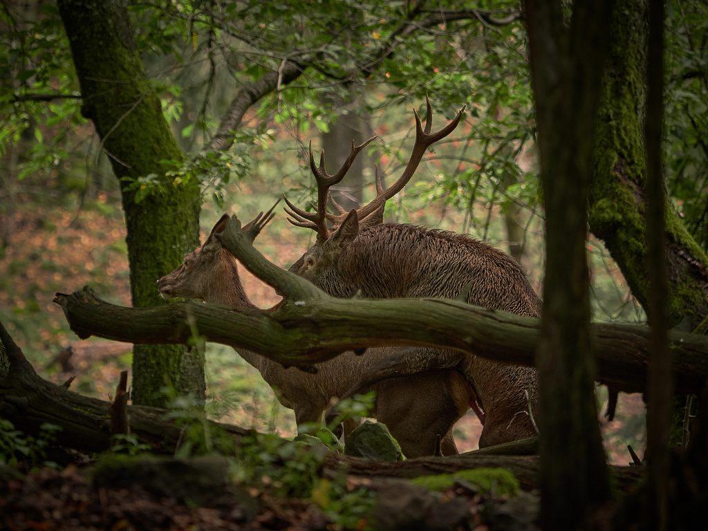 jelení říje jelen evropský lesní Cervus elaphus