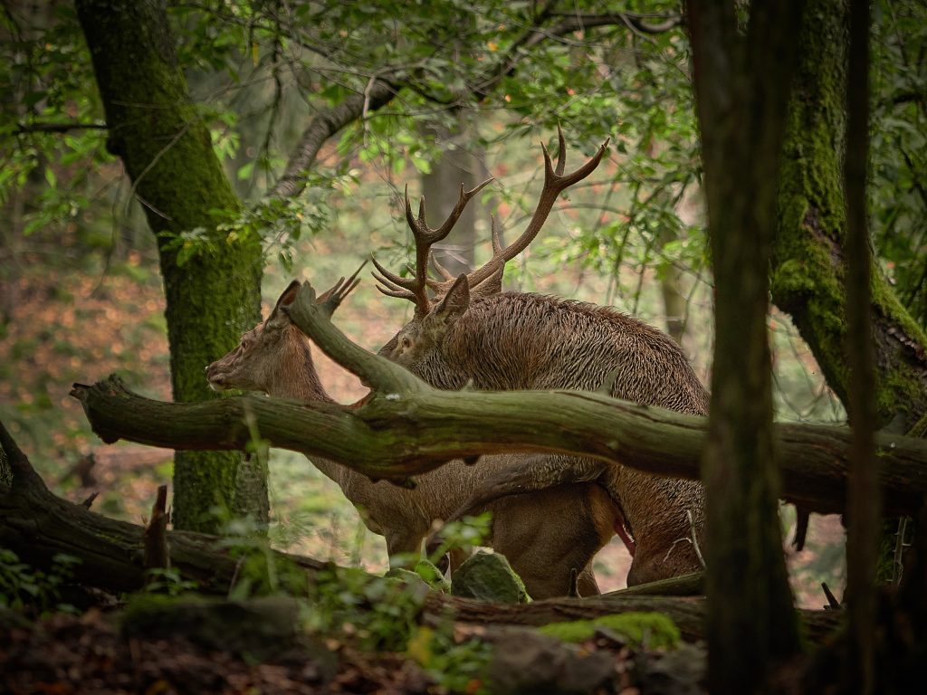 jelen evropský lesní cervus elaphus