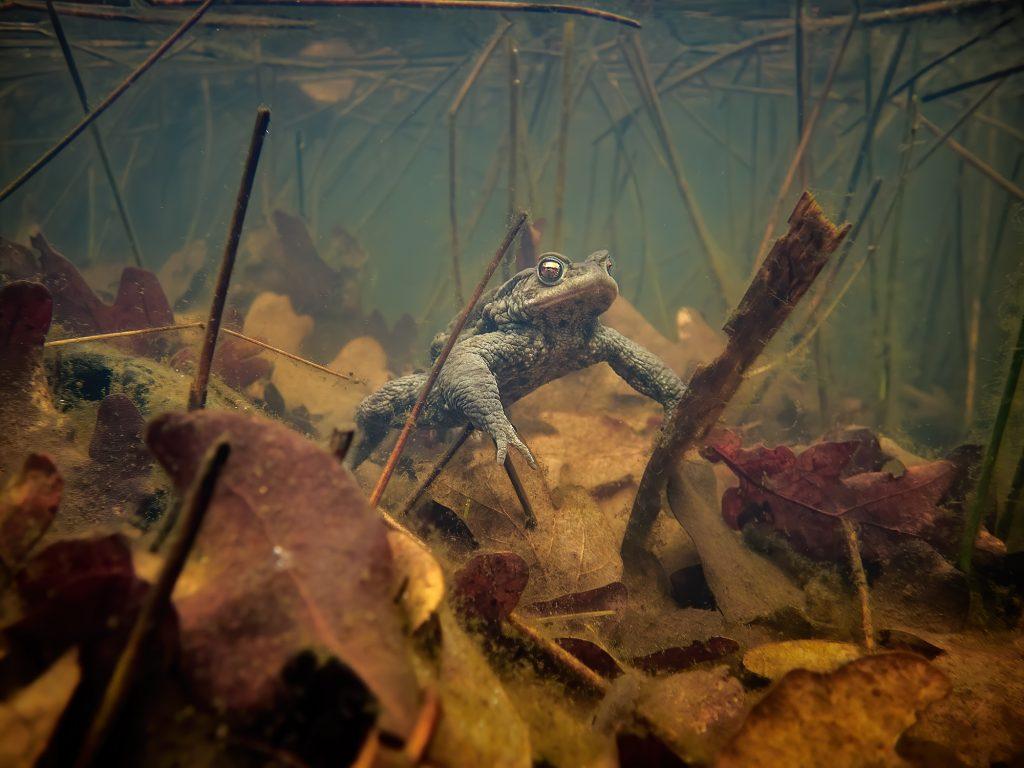 Bufo bufo Ropucha libouchecké rybníčky