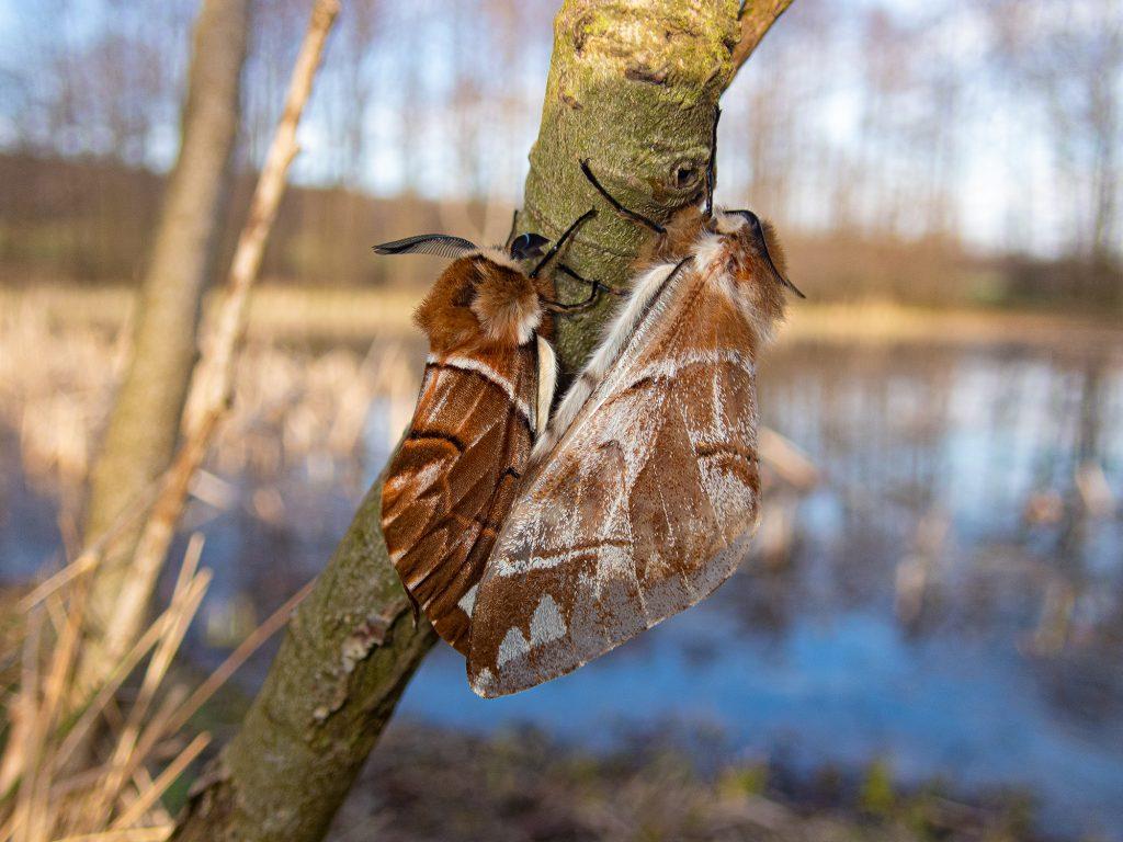 Strakáč březový Endromis versicolora