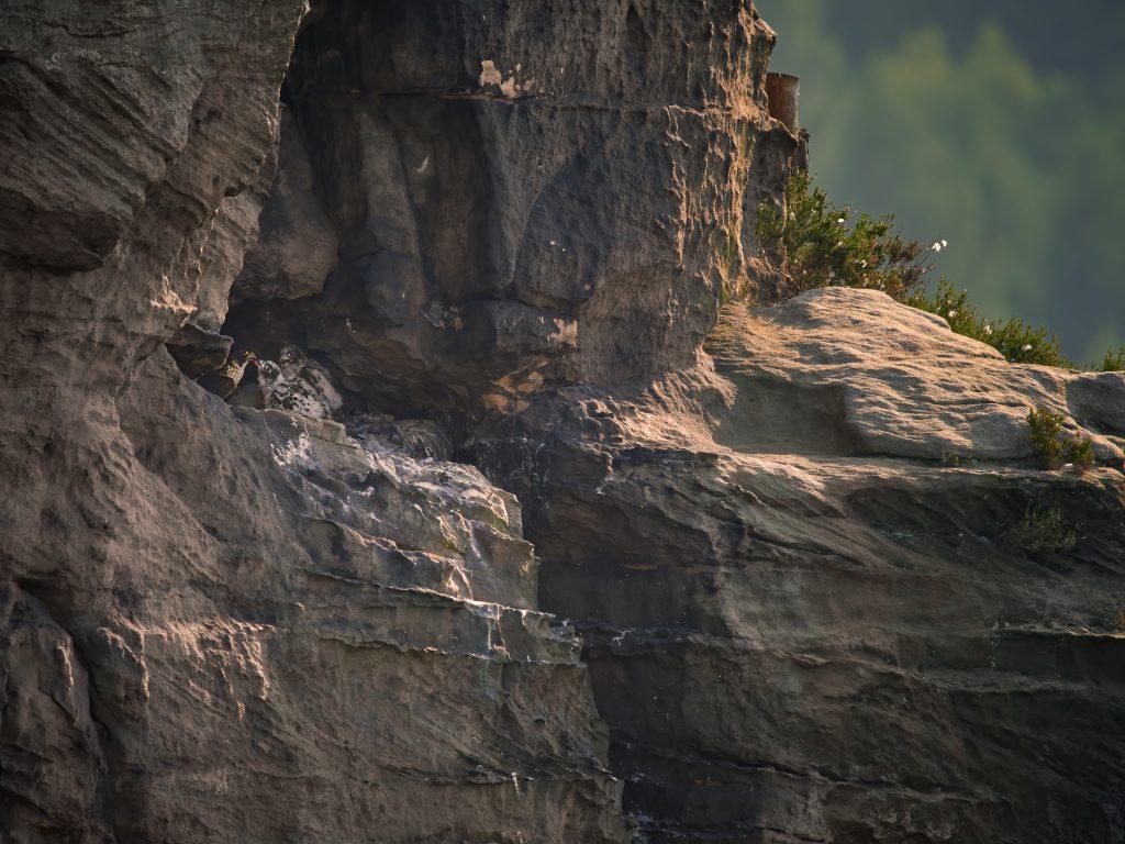 Sokol stěhovavý falco peregrinus